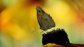 Butterfly on a Flower stock video footage