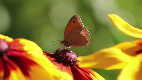 Butterfly on a Flower. Butterfly on Big Yellow Flower stock video footage