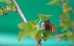 Butterfly on a flower of black currant Royalty Free Stock Image
