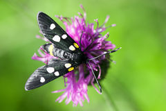 Butterfly on flower. Black spotted butterfly is on purple flower on green background royalty free stock photos