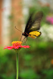 Butterfly on a Flower. Black butterfly with wings spread and perched on pink flower Royalty Free Stock Photography