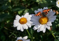 Butterfly on a flower. blooming daisy