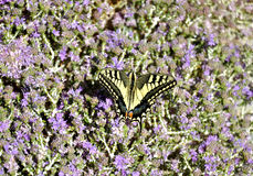 Butterfly on a flower. Butterfly on blooming purple flowers Royalty Free Stock Image