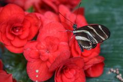 A butterfly on a flower. A butterfly on a blooming red flower Stock Photo