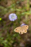 Butterfly. Flower blue  on a flower brown Broken wing spot wing insect Stock Photos