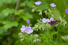 Butterfly on a flower. Butterfly on blue flowers in the forest Stock Photos