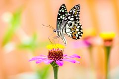 Butterfly on flower and blurred background. Beautiful butterfly with flower and blurred background attractive beauty black blue butterflies close up color stock photos