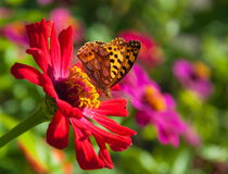 Butterfly on a flower. Royalty Free Stock Photography
