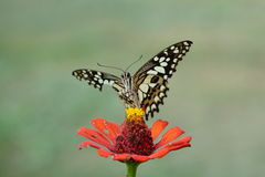 Butterfly  flower Stock Image