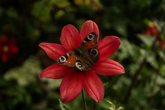 Butterfly on a flower. Brown butterfly on a red flower Stock Images
