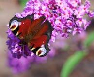Butterfly on flower Buddleja davidii Stock Image