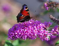Butterfly on flower Buddleja davidii Royalty Free Stock Images
