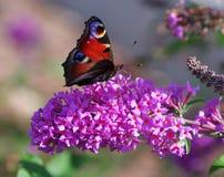 Butterfly on flower Buddleja davidii Royalty Free Stock Images