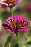 The butterfly on the flower. Royalty Free Stock Images