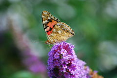 Butterfly on flower. A butterflying drinking nectar from a flower Royalty Free Stock Images
