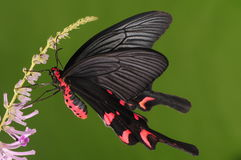 Butterfly on flower/Byasa.impediens/black and red royalty free stock photo