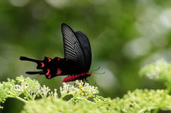 Butterfly on flower, Byasa impediens. Feeding on flowers. black and red Royalty Free Stock Photo