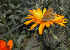 Butterfly on a flower. Royalty Free Stock Image