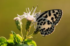 BUTTERFLY ON FLOWER, Castalius rosimon Royalty Free Stock Image