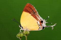 BUTTERFLY ON FLOWER, Charana mandarina Stock Image