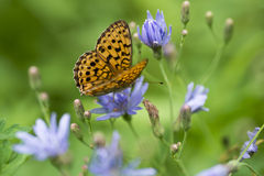 Butterfly on a flower. Chicory collects nectar Stock Image