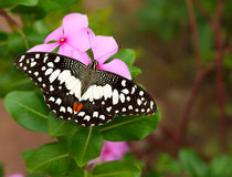 Butterfly on flower. Royalty Free Stock Images