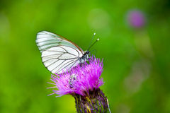 Butterfly on the flower Royalty Free Stock Images