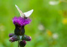 Butterfly on the flower Royalty Free Stock Photography