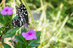 Butterfly on flower close up signifying spring and nature. A black and white common lime butterfly. Butterfly on a flower close up signifying spring. A black and Royalty Free Stock Photos