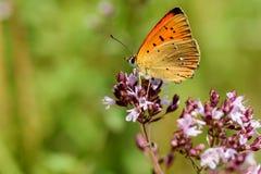 Butterfly flower closeup Lycaena virgaureae Stock Image