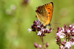 Butterfly flower closeup Lycaena virgaureae Royalty Free Stock Images