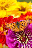 Butterfly on flower closeup Royalty Free Stock Photography