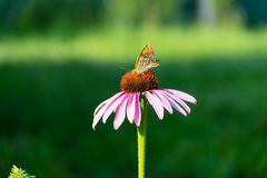 Butterfly on flower, green bokeh background Stock Image