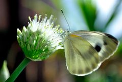Butterfly on a flower. A closeup of a white butterfly on an onion flower Stock Photography