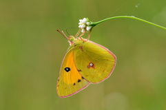 Butterfly on flower, Colias fieldii Stock Photo