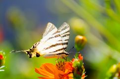 The butterfly on the flower. Colored butterfly laying on an orange flower. Blurry background Stock Photography
