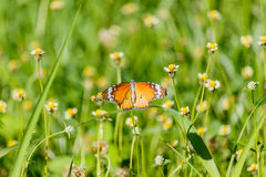 Butterfly on flower (Common tiger butterfly) Stock Photography