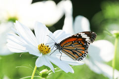 Butterfly with flower Cosmos. Royalty Free Stock Images