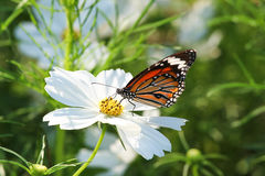 Butterfly with flower Cosmos. Royalty Free Stock Photos