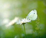 Butterfly on flower daisy Royalty Free Stock Image