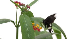 Butterfly. on flower drinking nectar stock footage