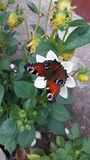 butterfly on a flower royalty free stock images