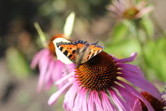 Butterfly on a Flower. Butterfly on an Echinacea flower Royalty Free Stock Photo