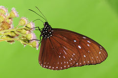 BUTTERFLY ON FLOWER, Euploea mulciber. Having rest. Brown wings with white spots Stock Photos