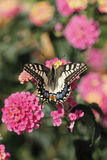 Butterfly on flower. A butterfly feeding on a flower royalty free stock photography