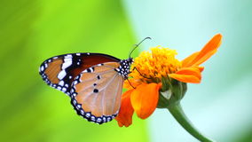 Butterfly on flower. Butterfly feeding on flower