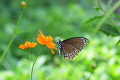 Butterfly flower Royalty Free Stock Photo