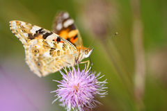 Butterfly on the flower feeding on nectar Stock Images