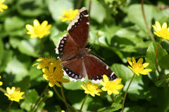 Butterfly on Flower Field. A pretty butterfly resting in a field of yellow flowers Royalty Free Stock Photos