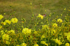Butterfly and flower. Butterfly in the field of yellow Cosmos Royalty Free Stock Photography